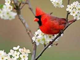 animales 5 aves espectaculares cardenal