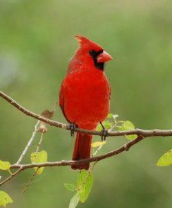 Como se alimenta el ave cardenal y su canto