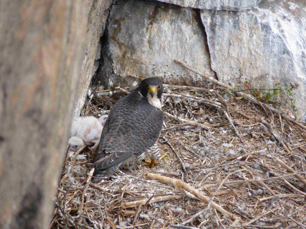 Halcón peregrino: hábitat, alimentación, extinción y más 10