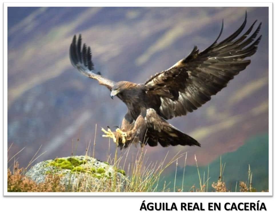 El águila real al acecho