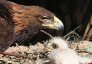 Águila real en peligro de extinción por falta de espacio