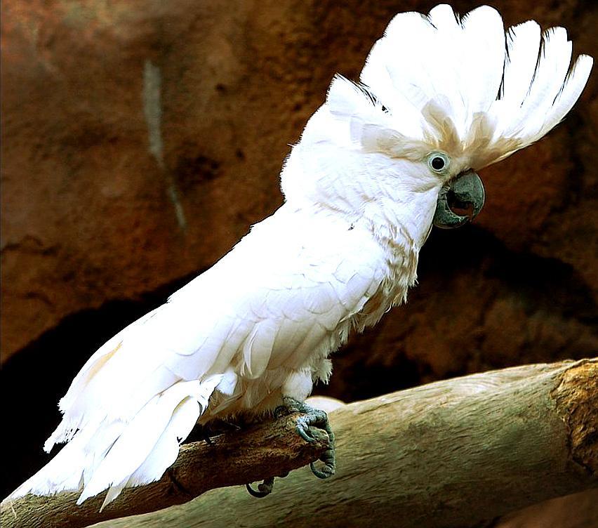 La cacatúa alba y sus cuidados