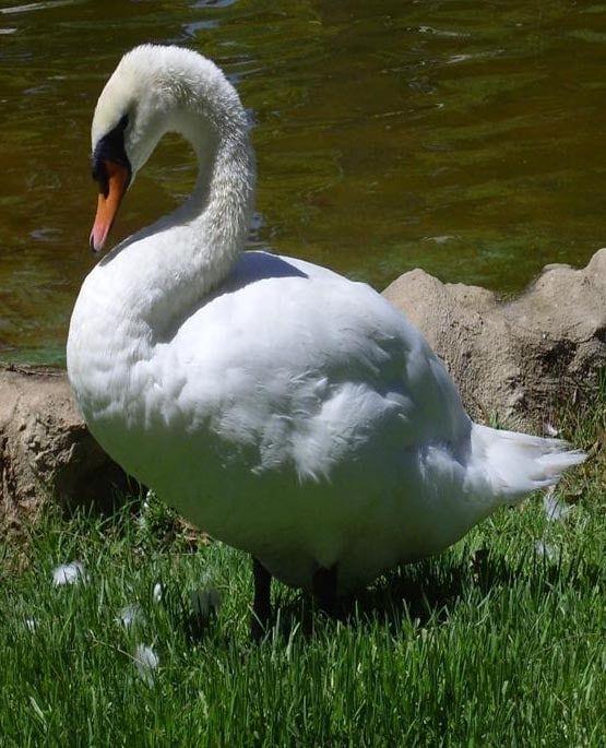 cisne-blanco-7