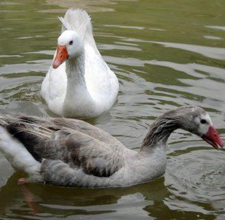 Alimentacion de los gansos, todo lo que debes saber
