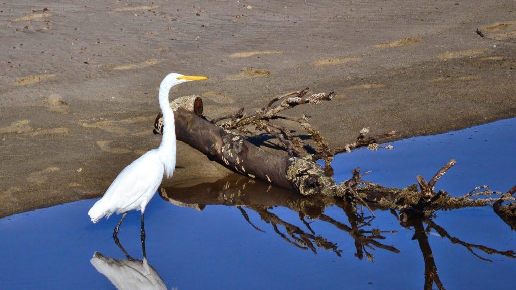 Garza blanca: características, alimentación reproducción y más-10