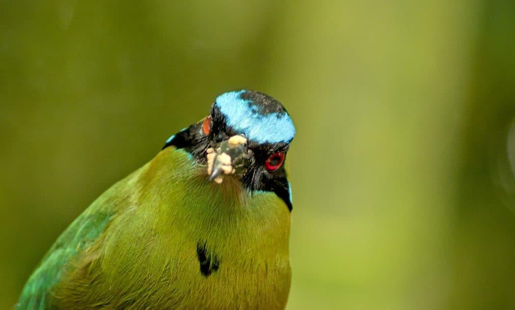 pájaro barranquero visto desde el frente