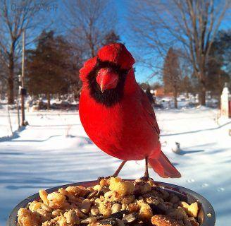 Pájaro Cardenal: Características, alimentación, hábitat y más