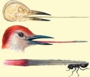 Pájaro Carpintero lengua