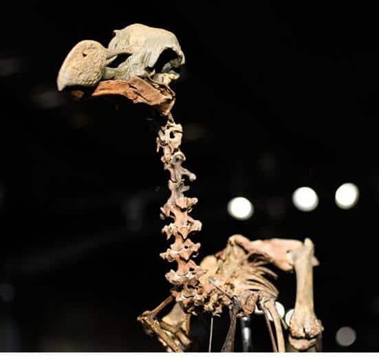 El esqueleto mas completo del pajaro dodo