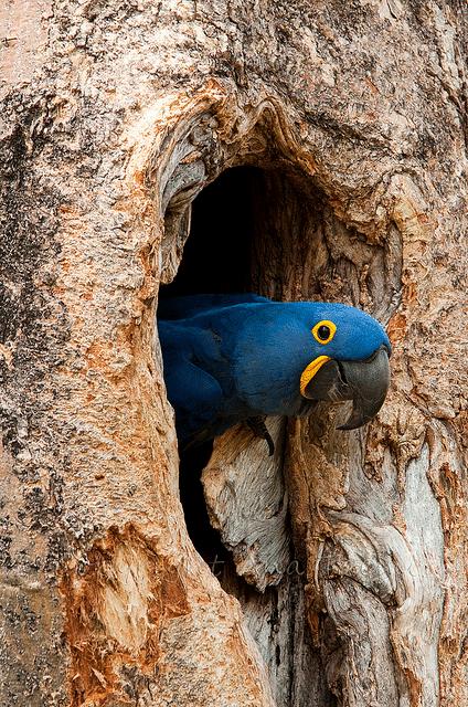 nido de la guacamaya azul