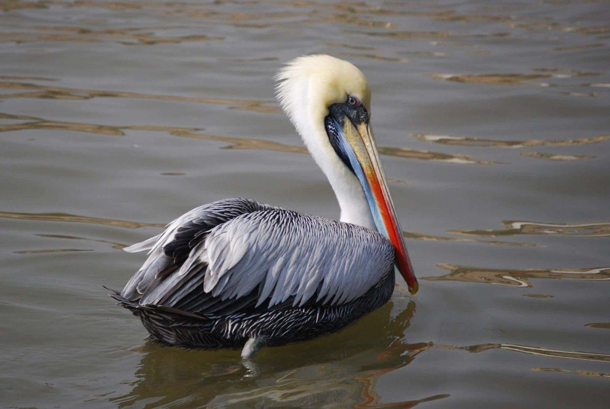 O Pelicano Distribuidora Pelicano chileno: Todo...