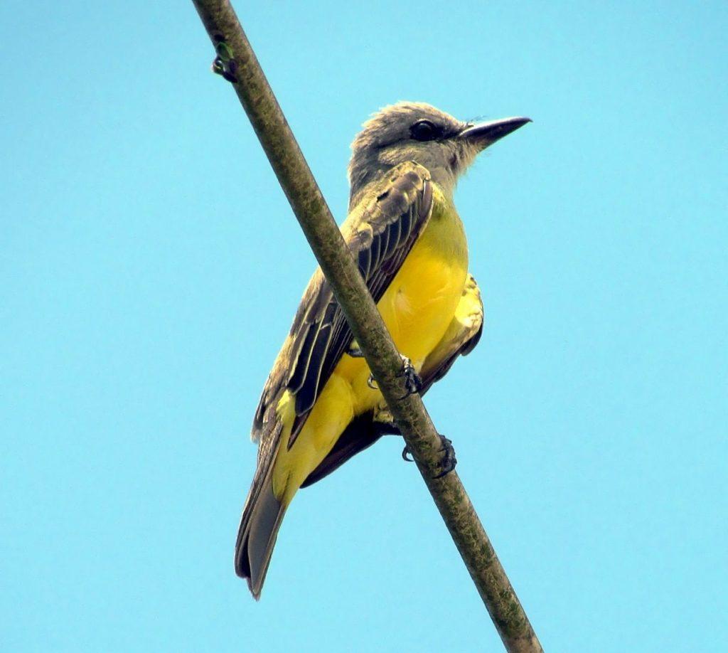 cristofue pájaro