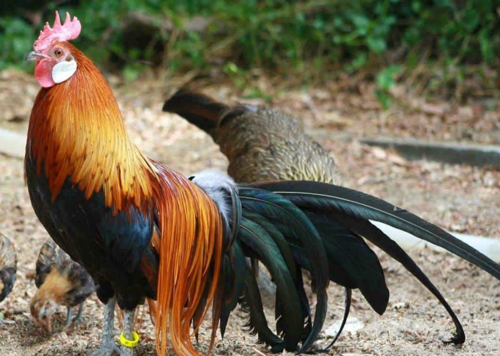 gallo bankiva