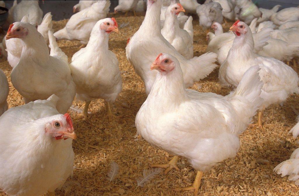 gallo blanco reproducción
