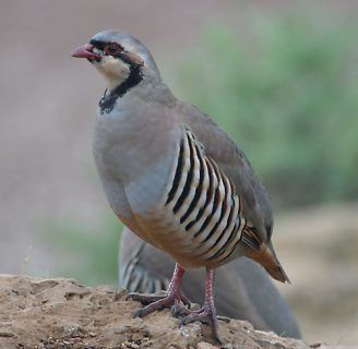 perdiz chukar: Todo lo que debes saber de esta especie
