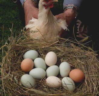 ¿Quieres Saber Como Incubar Huevos De Gallina? Descubrelo Aqui
