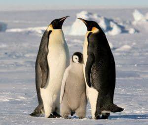 como se cortejan los pinguinos