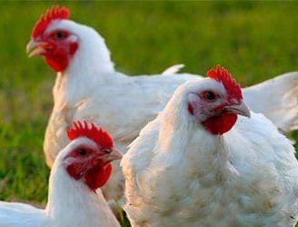 Reproducción de los pollos, lo que no sabías sobre estos procesos