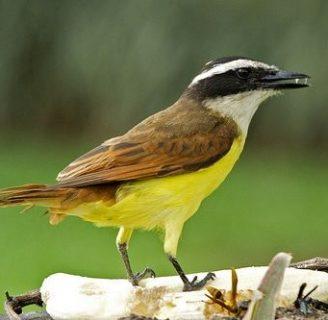 Descubre todo sobre tyrannidae, una familia de ave muy extensa