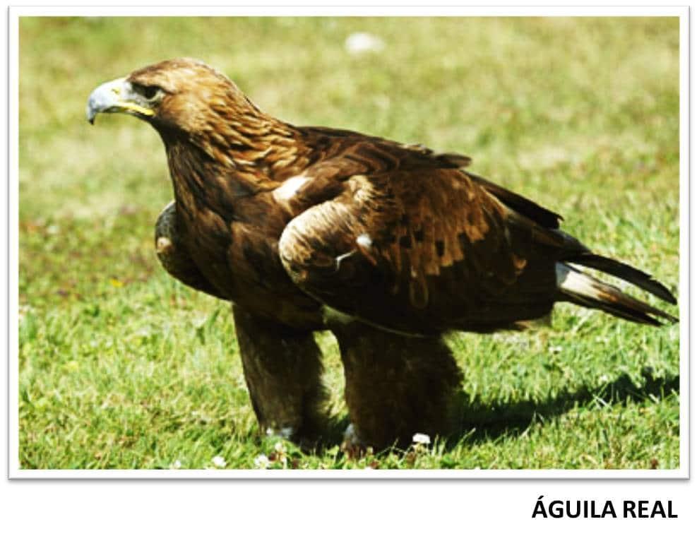 Datos curiosos sobre el águila real