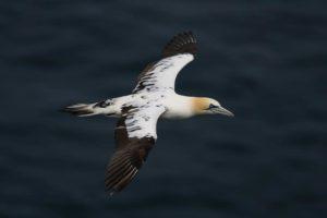 caracteristicas del ave marina alcatraz