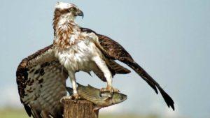 Águila pescadora: características, curiosidades y más