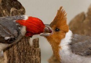 pajaro cardenal