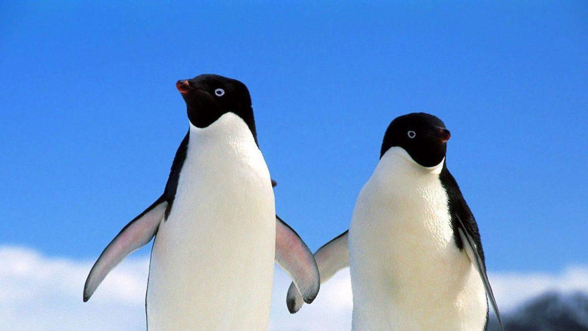 Pingüinos lindos