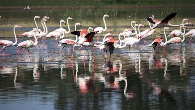 flamenco rosa o común