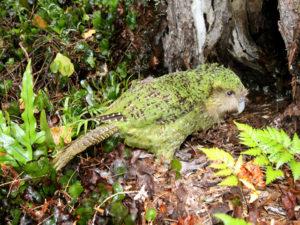 Conosci tutto su Kakapo: Caratteristiche, habitat e molto altro