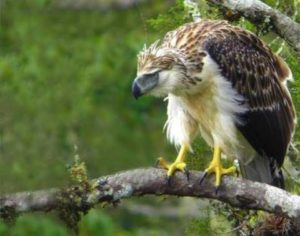 ¿Quieres saber todo sobre el águila filipina? Apréndelo aquí