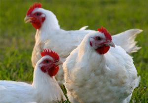 ¿Quieres Saber Todo Sobre Pollo de Engorde? Descúbrelo Aquí